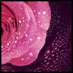 Gotas (_Zahira_) Tags: pink flower macro water rose square lafotodelasemana drops agua flor rosa drop gotas gota ngr cuadrado samgung ltytr1 flickrandroidapp:filter=none galaxys4