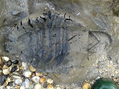 Hunter welly-print in tidal mud (essex_mud_explorer) Tags: mud boots rubber wellington hunter wellies wellingtons rainboots
