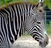 Zebra (BGDL) Tags: tampa for florida zebra weekly themez lowryzoo d7000 55200mmnikon elementsorganizer flickrlounge zebranikkor
