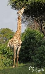"Southern Giraffe ""Maintaining Browse Line"" (girlslens) Tags: africa giraffe botswana okavangodelta southerngiraffe"