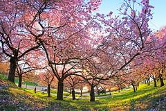 Under the cherry trees (R. A. R.) Tags: park pink flower nature backlight germany cherry deutschland spring blossom natur rosa cherryblossom freiburg blte baum cherrytree gegenlicht kirsche seepark canon550d walimex8mm35