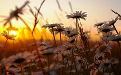 Gnaydn :) (mavi_umut) Tags: morning flowers daisies solar day good hi papatya gnaydn