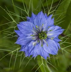 Glorious Nigella (ChrisKirbyCapturePhotography) Tags: nigella loveinthemist blue blueflower racenscourtpark londongardens