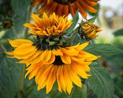 California Sunflower (Bryan the Roving Vagabond) Tags: sunflower macro garden fullerton aborteum flower yellow spring socal california oc orangecounty explore green