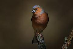 _F0A6545.jpg (Kico Lopez) Tags: fringillacoelebs galicia lugo miño pinzóncomún spain aves birds rio