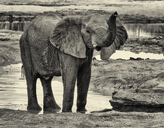Waving (rachelsloman) Tags: bw elephant wave trunk kwai botswana