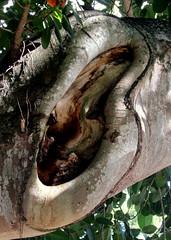 tree ear (Hilarywho) Tags: tree banyantree banyan ear lookslikeanear wood florida ftmyers canyouhearmenow
