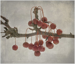 (melolou) Tags: red berries texture