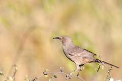 Curved-billed Trasher (gilamonster8) Tags: arizona bird bokeh beyondbokeh bill cactus desert eyes flight flickrelite green gray sky ngc color