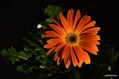 1-DSC_1378  orange without any compromise (profmarilena) Tags: orange gerbera macro closeup nikond810 sigma105 orangegerbera