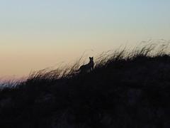 Cat on the dune (rjmiller1807) Tags: cat sunset dusk dune westbeach capetown blouberg southafrica silhouette kitty meow cute scene 2017 february sky grass sanddune sweet