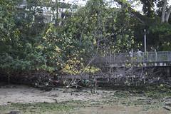 Leaves falling off oiled tree (wildsingapore) Tags: changi safchalets threats oil spill pollution singapore marine intertidal shore seashore marinelife nature wildlife underwater wildsingapore