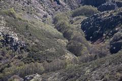 Early spring creek (ramosblancor) Tags: naturaleza nature paisaje landscape valle valley arroyo creek bosquedegalería galleryforest alisos sauces willows alders primavera spring color sierradelrincón ríodelapuebla reservadelabiosfera biospherereserve madrid españa spain