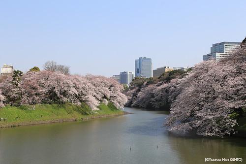 Tokyo e ciliegi