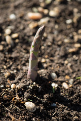 20170405-AMS-LSC-1849 (USDAgov) Tags: usda departmentofagriculture usdepartmentofagriculture peoplesgarden nationalmall washington dc planting seed sprout tools soil garden transplant plant align spring coolweather asparagus