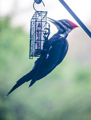 pileated woodpecker (dianabog ) Tags: pileatedwoodpecker woodpecker woodywoodpecker