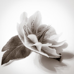 10/30 Mono Hellebore [Explored] (belincs) Tags: 2017 april aprilproject lincolnshire uk flower hellebore highiso indoor monochrome