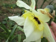 A Bee-fly photo at last (JulieK (enjoying Spring in Co. Wexford)) Tags: hfdf diptera solitarybee garden daffodil fauna ireland irish wexford nature invertebrate