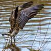 Barnacle Goose / Brandgans (rob.bremer) Tags: brandgans brantaleucopsis barnaclegoose bird noordhollandsduinreservaat noordholland bakkum karpervijver meertjevanvogelenzang nature natuur