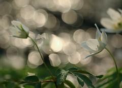 White dance (annazelei) Tags: tavasz virág fehér szellőrózsa berki erdő wald bokeh springtime spring frühling anemone nemorosa white grün green bunt stunning flora lights light canon eos depthoffield april macromondays details fleur blossom