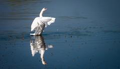 Schwan-Reflection (achim-51) Tags: outdoor schwan swan spiegelung reflection natur wasser blau weiss see teich panasonic lumix dmcg5 mersch tier tiere lippetal