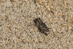 Blue Flash (brucetopher) Tags: tigerbeetle tiger beetle cicindela beach beachtigerbeetle insect bug critter creature tiny beauty beautiful pattern elytra maculations shell camouflage fast tease frustrating elusive animal outdoor
