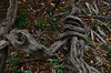Vegetal knot (Aztlek) Tags: vegetalknot nudovegetal orinocoriver paisaje ríoorinoco orinoco fotoexpedición fotoexpediciónorinoco vichada colombia photoexpedition orinocophotoexpeditiontrekking hiking senderismo caminata viajaryvivir afsdxnikkor18200mmf3556ged nikkor 18200mmf3556 f3556 f13556 ufraw ilovenature nikond7000 nikon d7000 nikongpsunit gpsunitgp1 gpsunit photography fotografía