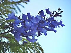 The blooming jacaranda (AMoska) Tags: natureza nature flora flores flowers árvore tree jacaranda exquisiteflowers