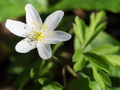 Wood anemone (schauplatz) Tags: anemonenemorosa deutschland frühling stuttgart teich smellfox thimbleweed windflower woodanemone frühblüher closeup makro macro