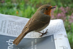 Newspaper Reader (ivlys) Tags: darmstadt minigarden rotkehlchen erithacusrubecula robinredbreast vogel bird tier animal zeitung newspaper nature macro ivlys