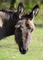 Stan & Ollie (SteveJM2009) Tags: moke donkey mockbeggar newforest hants hampshire uk fur furry face eye ears sun light coat unkempt inquisitive dof focus character april 2017 stevemaskell