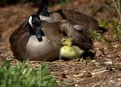 Canada Goose Family (Virginia Rivers) Tags: canadagoose canadagoosegosling idaho kathrynalbertsonpark waterfowl wildlife birds goose gosling brantacanadensis anatidae outdoor nature goosebehavior