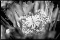 Estigma entre Estanbres (MiOmbligo) Tags: cactus ferocactus bn flor