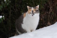 A cat in the snow (bertrandwaridel) Tags: 2017 echallens january mimi switzerland vaud winter animal cat snow suisse