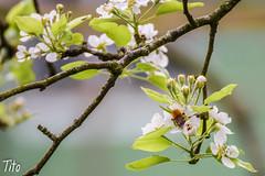 Abeja y flor (alberto ramil) Tags: flores abejas verde primavera