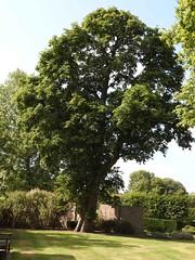 horse_chestnut (Hall Place Idler) Tags: chestnut horse aesculus hippocastanaceae hallplace