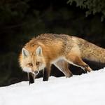 Red fox thumbnail