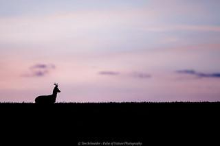 Buck after sunset