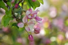 Apple Blossom (inge_rd) Tags: apple blossom apfelblüte spring frühling bokeh blüten lila