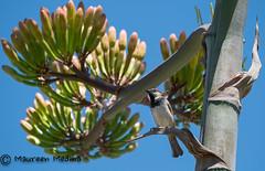 Sparrow on Century Plant (Maureen Medina ArtiZenImages Photography) Tags: maureenmedina artizenimages housesparrow bird perched centuryplant