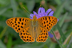 Issoria lathonia - the Queen of Spain Fritillary (BugsAlive) Tags: butterfly butterflies mariposa papillon farfalla schmetterling бабочка animal outdoor insects insect lepidoptera macro nature nymphalidae issorialathonia queenofspainfritillary latonia kleinerperlmutterfalter sofía storfläckigpärlemorfjäril heliconiinae wildlife lozère parcnationaldescévennes montlozère liveinsects france