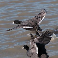 Lift off (_quintin_) Tags: bird coot anima lakeelizabeth