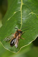 Male miner bee #3 (Lord V) Tags: macro bug insect minerbee bee andrena