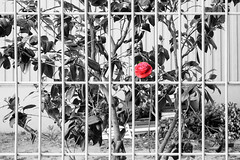Fenced friday (Daegeon Shin) Tags: nikon d750 nikkor 55mmf28 fencedfriday 365 red rojo fence valla flor flower 니콘 니콘렌즈 빨강 울타리 꽃 camellia camelia 동백