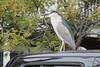 Black-crowned night-heron, Redondo Beach