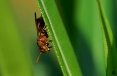 Hornet (rajnishjaiswal) Tags: bee beemacro insect bug bugonleaf peeking grass blade nature beautifulnature park garden green wildlife