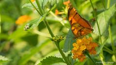 JM foto75-158 (janetankersmit) Tags: 2017 vlinders vlindertuin zutphen