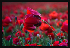Scolding (Ilan Shacham) Tags: poppy flower red shouting yelling scolding reach field poppies fineart fineartphotography macro israel hulda