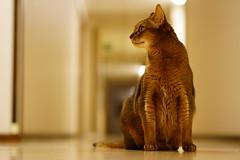 My name is Lizzie! (DizzieMizzieLizzie) Tags: abyssinian aby beautiful wonderful lizzie dizziemizzielizzie portrait cat chats feline gato gatto katt katze katzen kot meow mirrorless pisica sony a6500