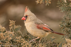 All dolled up... (rdroniuk) Tags: birds smallbirds passerines cardinal femalecardinal northerncardinal northerncardinalfemale cardinaliscardinalis oiseaux passereaux cardinalrouge